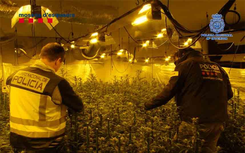 Desarticulada una organización dedicada al tráfico de marihuana en Reus