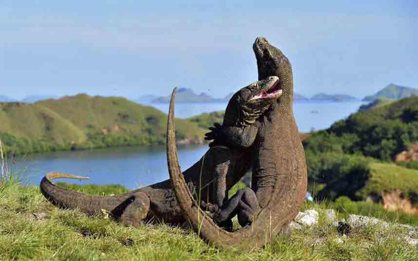La Fundación Barcelona Zoo organiza un simposio sobre el dragón de Komodo