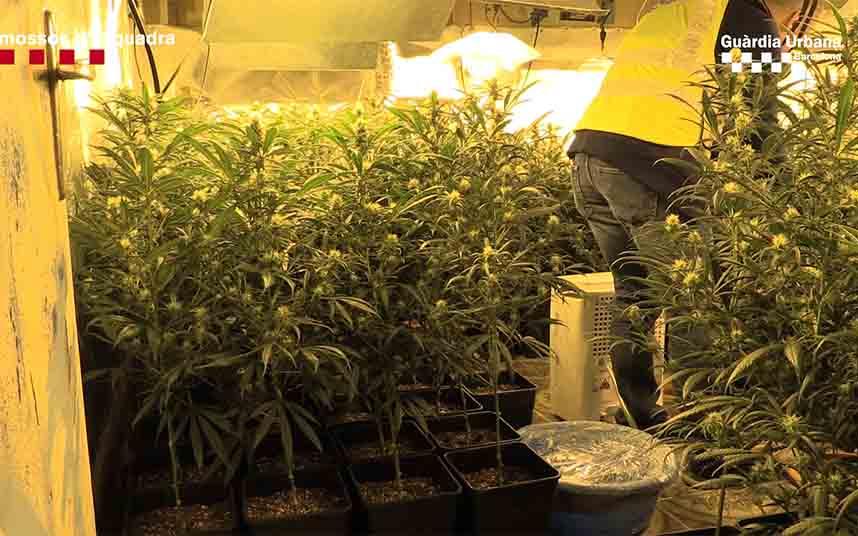 Desarticulado en Nou Barris un grupo dedicado al tráfico de marihuana