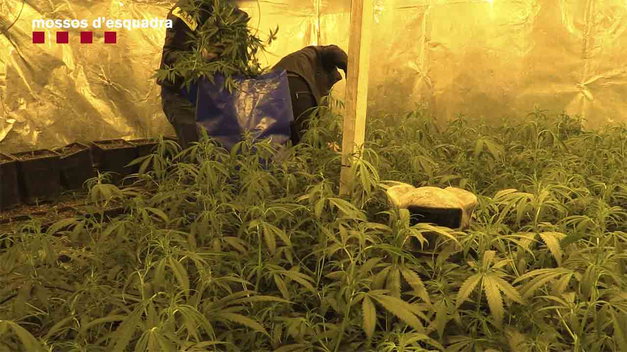 Desarticulado un grupo dedicado al cultivo de marihuana en naves industriales