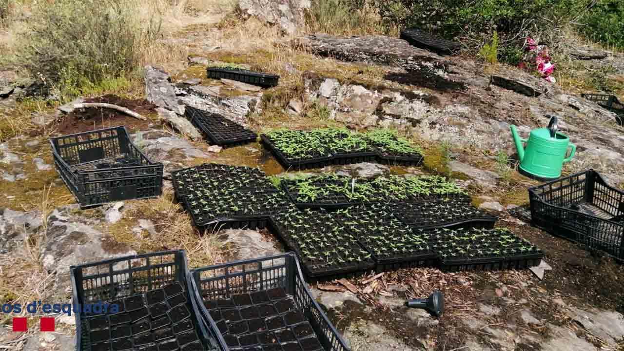 Localizan una plantación de marihuana con seis campos de cultivo en Cruïlles