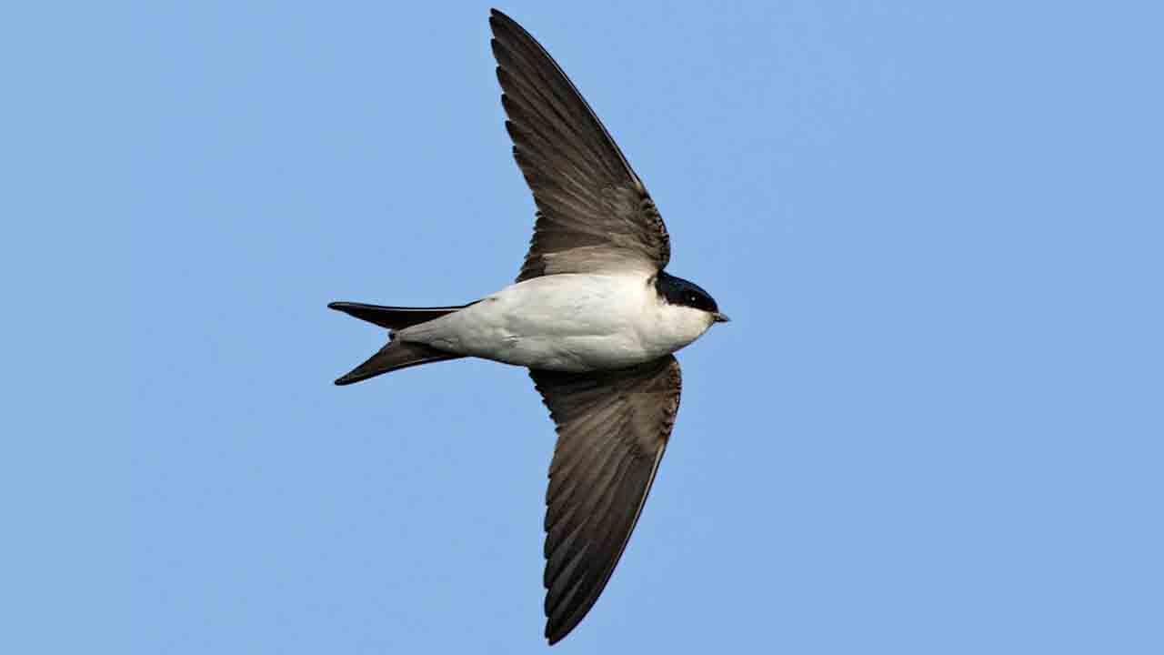 Denuncia penal a un hombre por la destrucción de nidos de golondrina en Mollet del Vallés