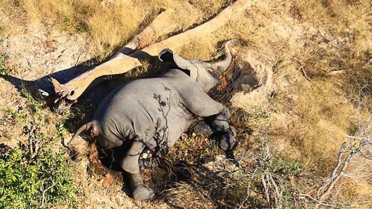 Más de 350 elefantes han muerto por causas desconocidas en el norte de Botswana