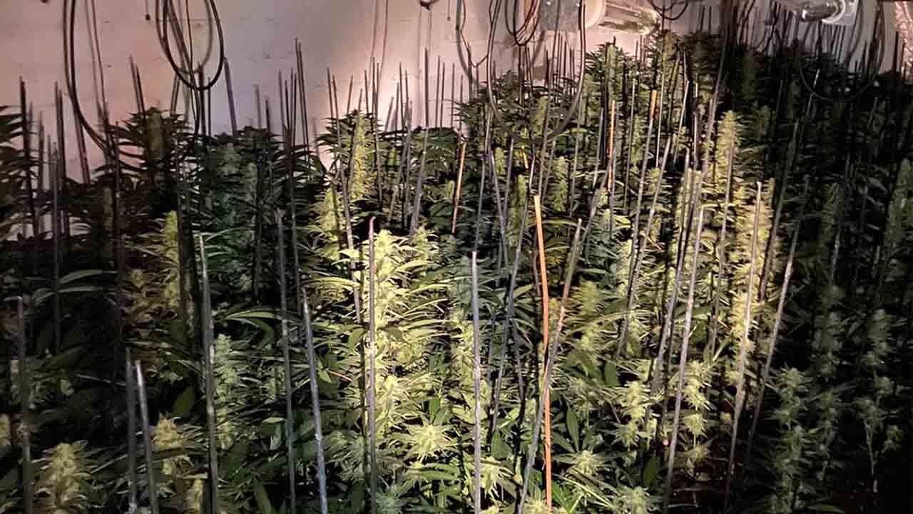 Decomisadas 1.120 plantas de marihuana en un almacén en Riumors