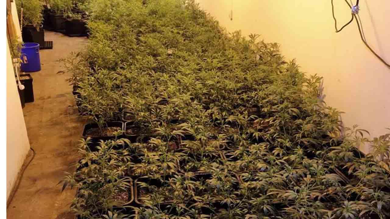 Incautadas más de nueve mil plantas de marihuana en Sant Martí