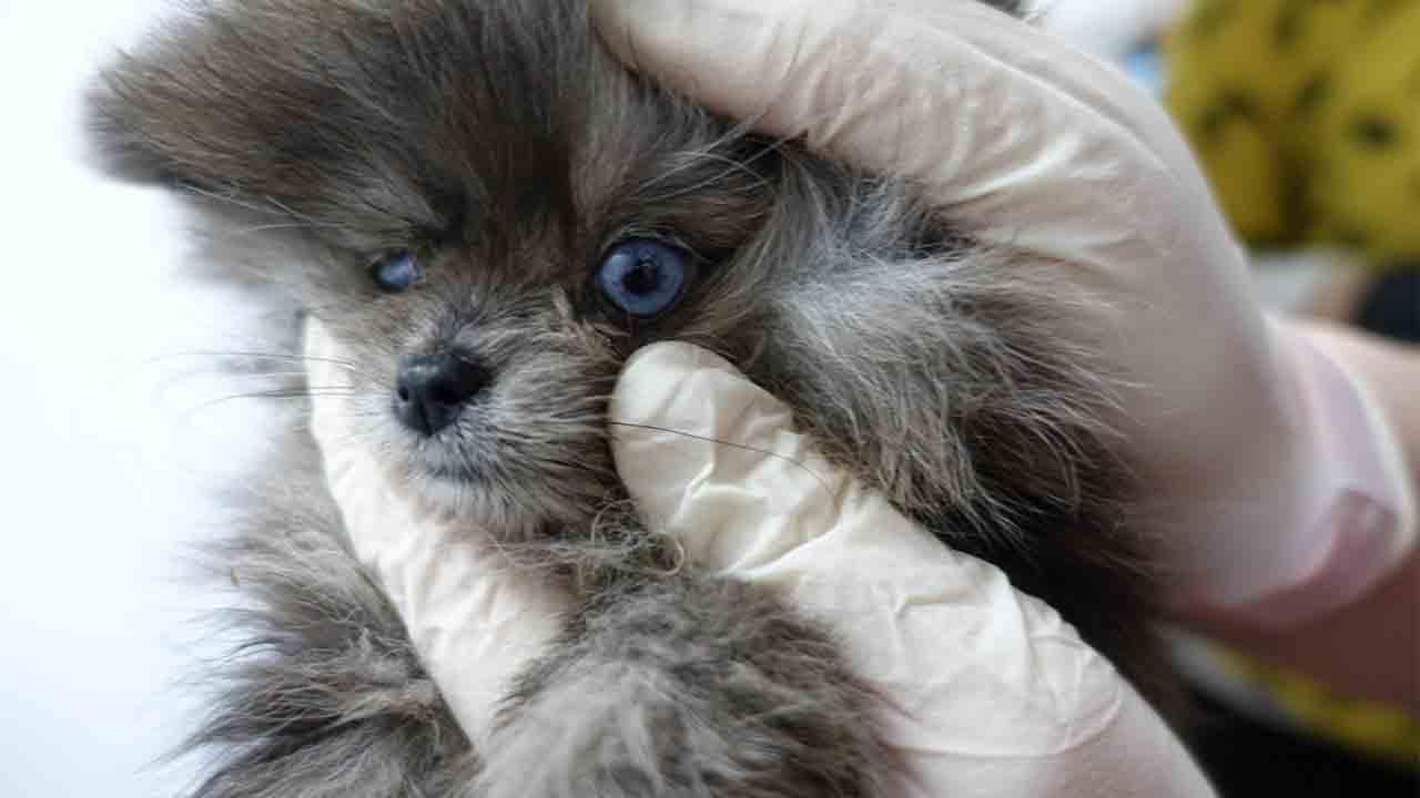 Espeluznante hallazgo en la tienda de cachorros 'Ladridos' tras una inspección