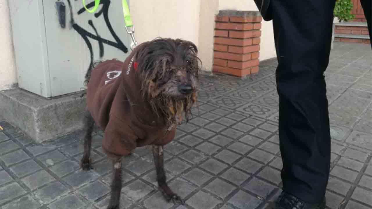 La Guardia Urbana rescata una perra en pésimas condiciones físicas en un domicilio de Gracia