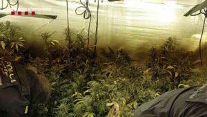 Los Mossos desmantelan ocho plantaciones de marihuana en Hospitalet