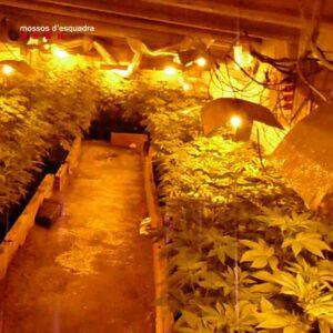 Cinco detenidos en un día por plantaciones de marihuana