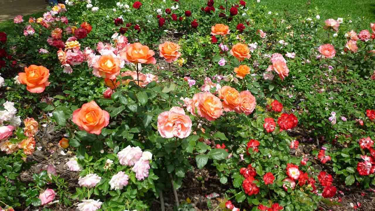 Barcelona celebra el 21 Concurso Internacional de Roses Noves