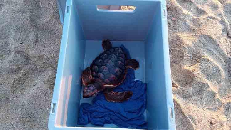 Se liberan al mar 24 tortugas careta nacidas en Barcelona en 2020