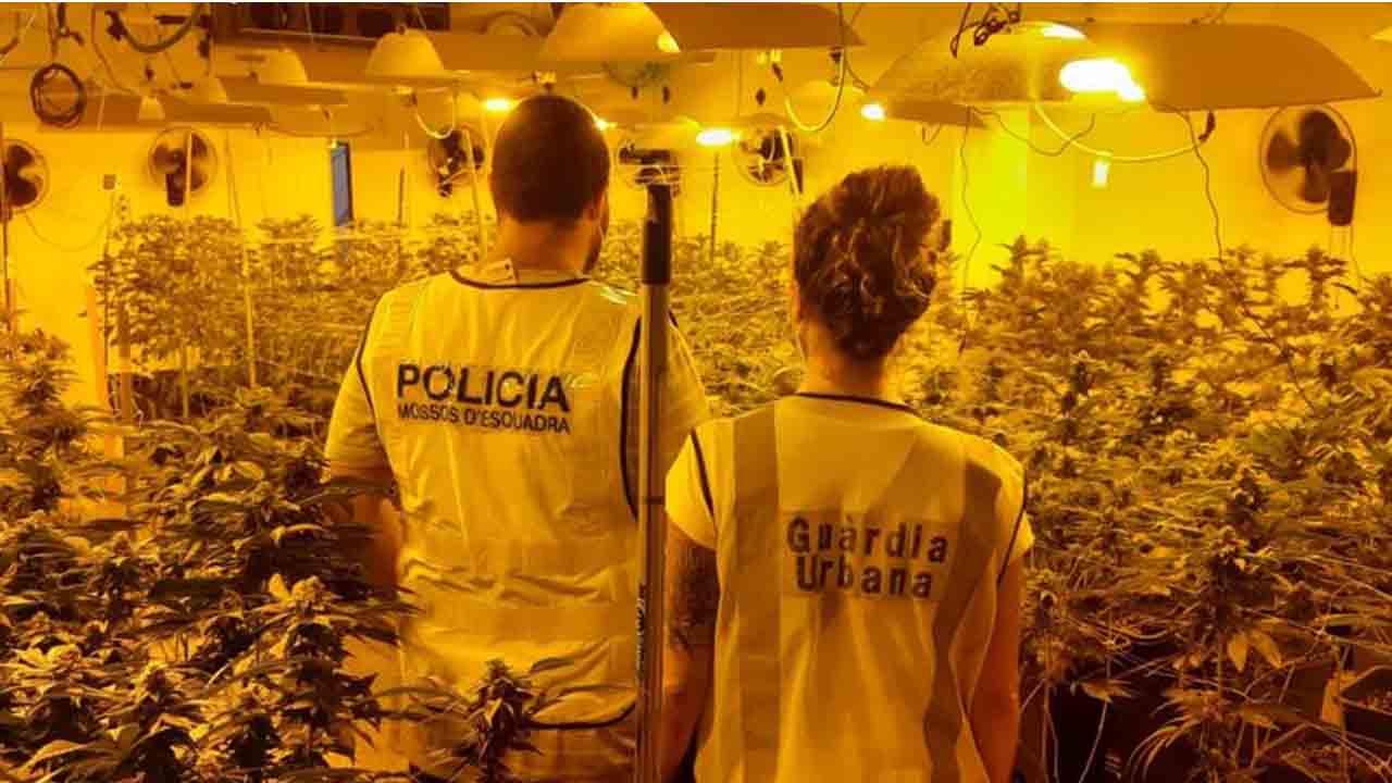 Localizan una plantación de marihuana en Sant Martí