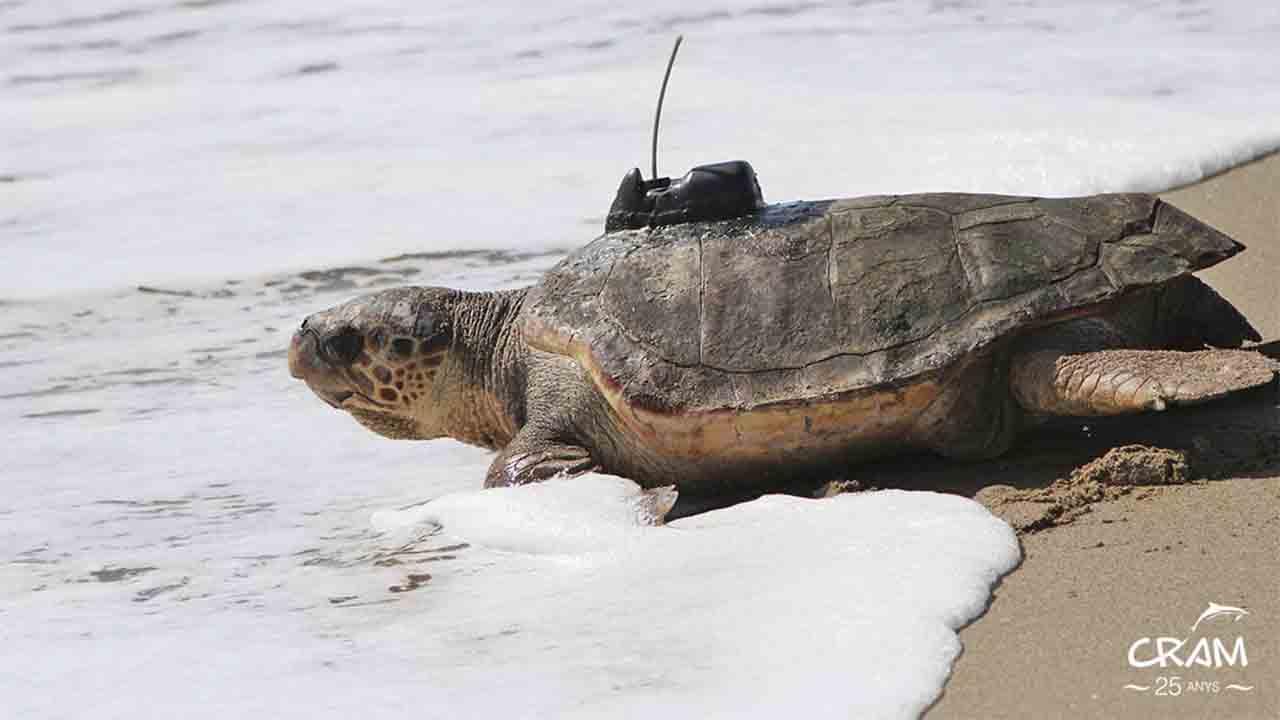 Liberan en la playa de El Prat a dos tortugas después de 10 años de recuperación en un centro